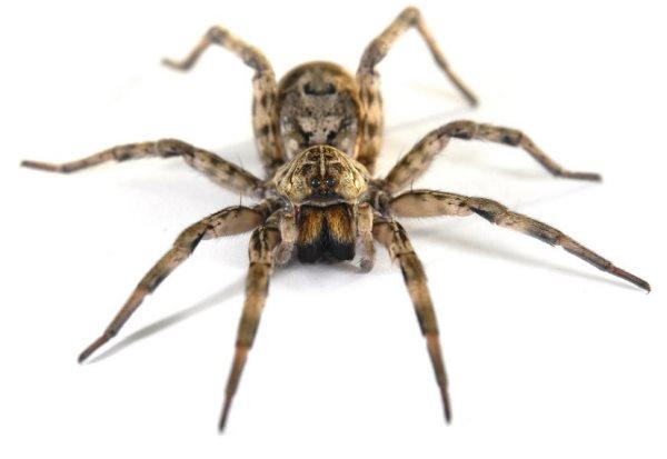 Simbología de la araña