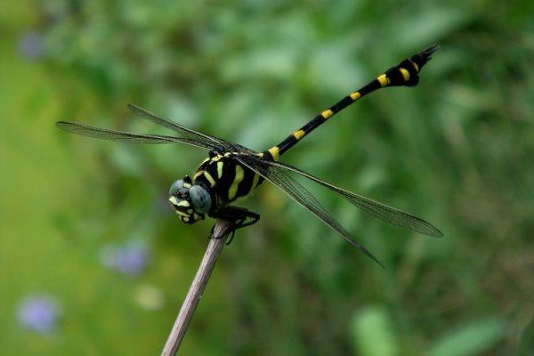 Simbología de las libélulas