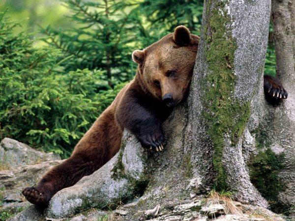 Simbología del oso