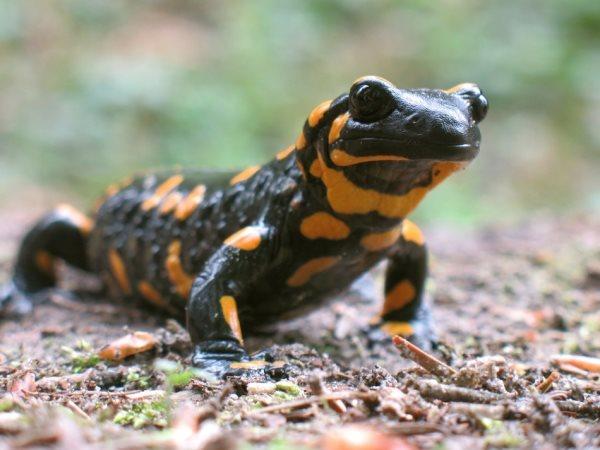 Simbología de la salamandra