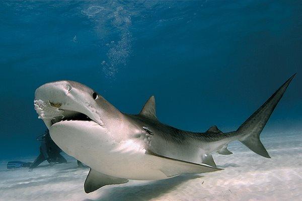 Simbología del tiburón