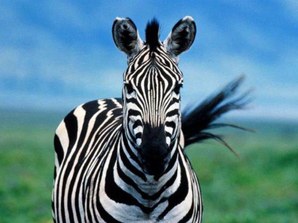 Zebra O Cebra Yahoo Simbología de ...