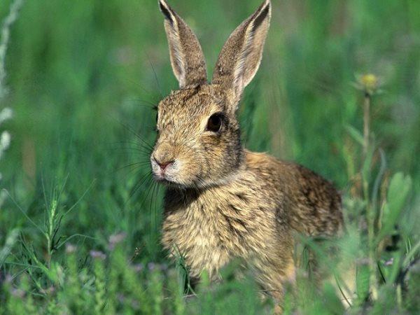 Simbología del conejo