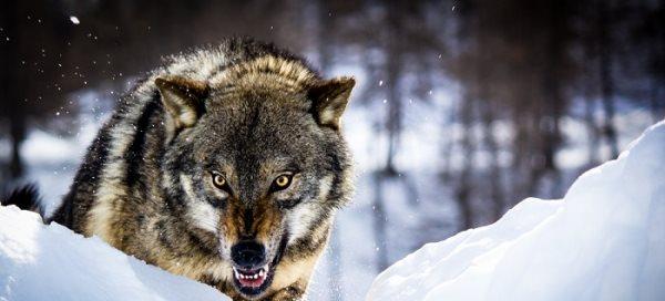Simbología del lobo