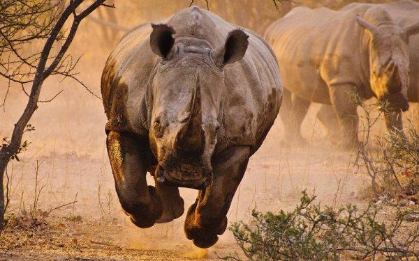 Simbología del rinoceronte