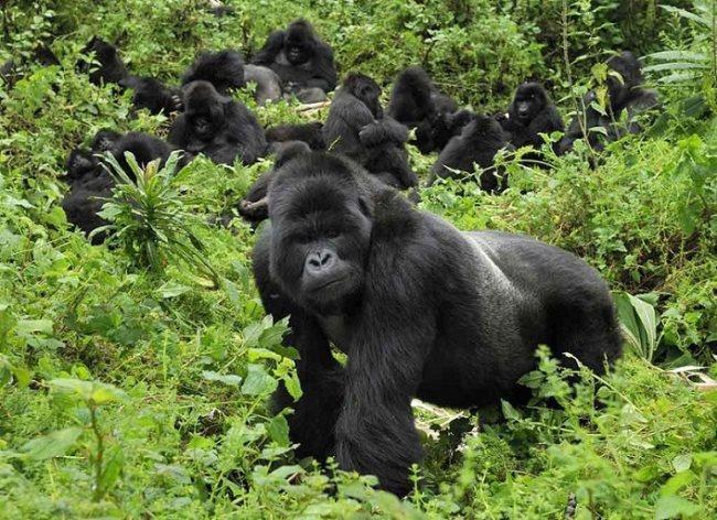 Simbología del gorila