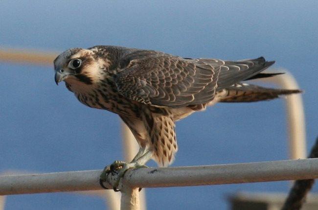 Simbología del halcón