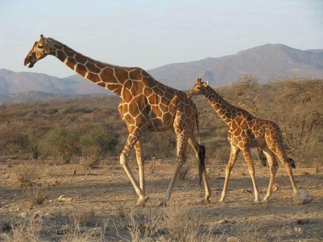 Simbología de la jirafa