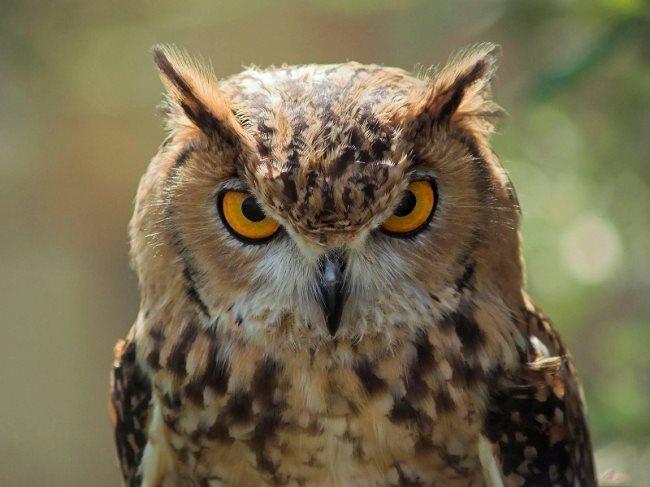 Top 10 animais favoritos Coruja1